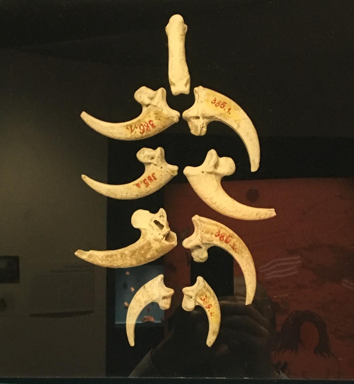 Serres d'aigles à queue blanche perforées avant d'être montées en collier, Krapina, Croatie vers - 130.000 ans